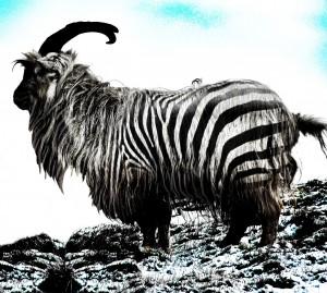 Zebra goat from Fishmadman - made for salmon flies