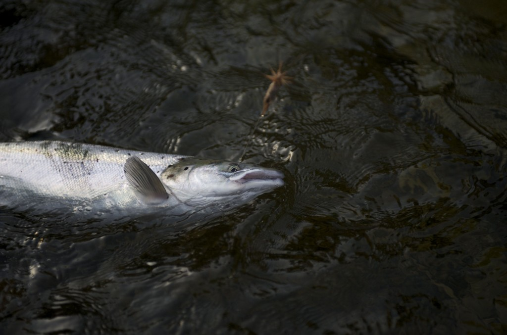 Salmon dry fly on tube well up the leader