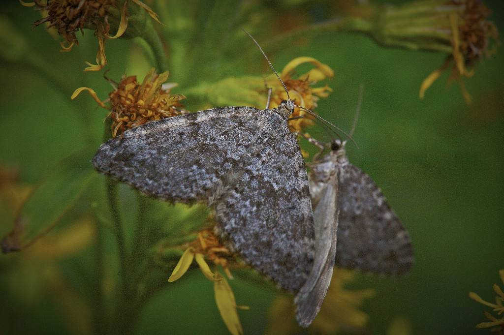 Moth of Northern Norway - a important insect to the salmon angler