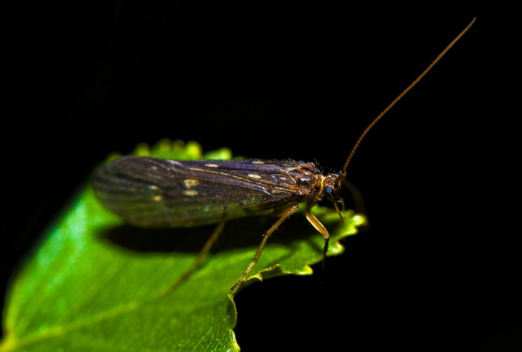 Big caddisfly insect a snack for trout and salmon