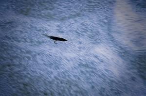 Dibbling, Dabbing a salmon fly