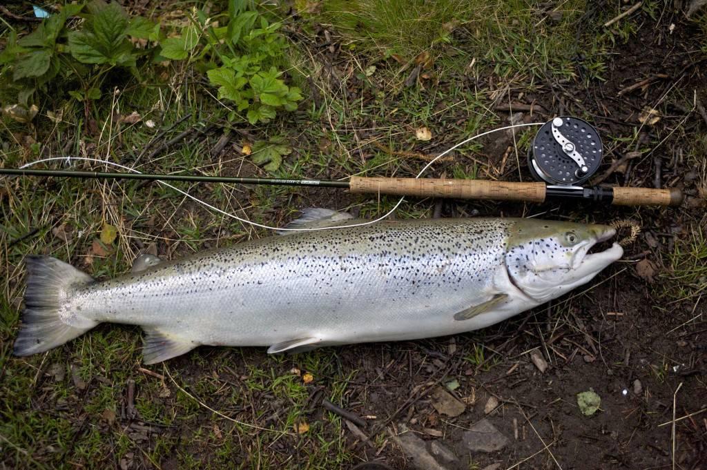 Farmed salmon from Norwegian river