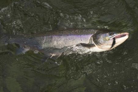 Atlantic salmon on big sunray shadow tube fly