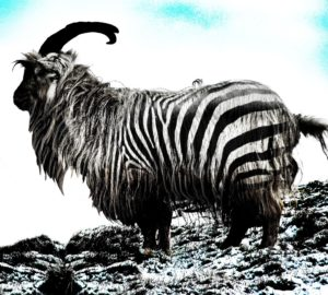 Zebra goat from Fishmadman