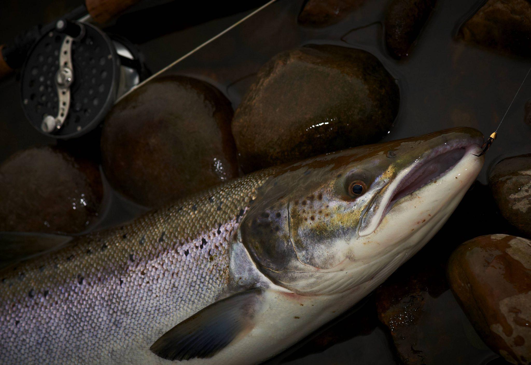 October fish from Kinnaber beat - fly Kinnaber killer
