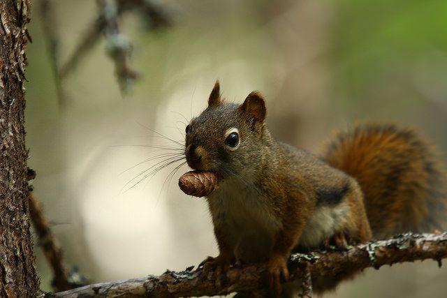 Pine Squirrel - Bill Bryden