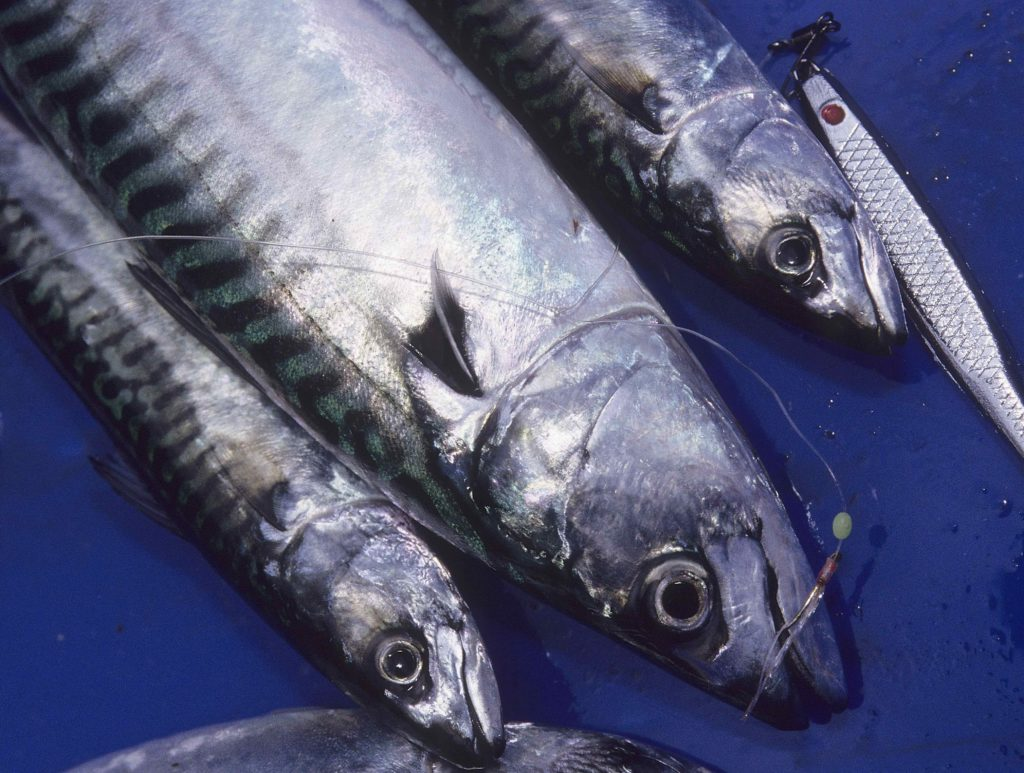 salmon eat Atlantic mackerel