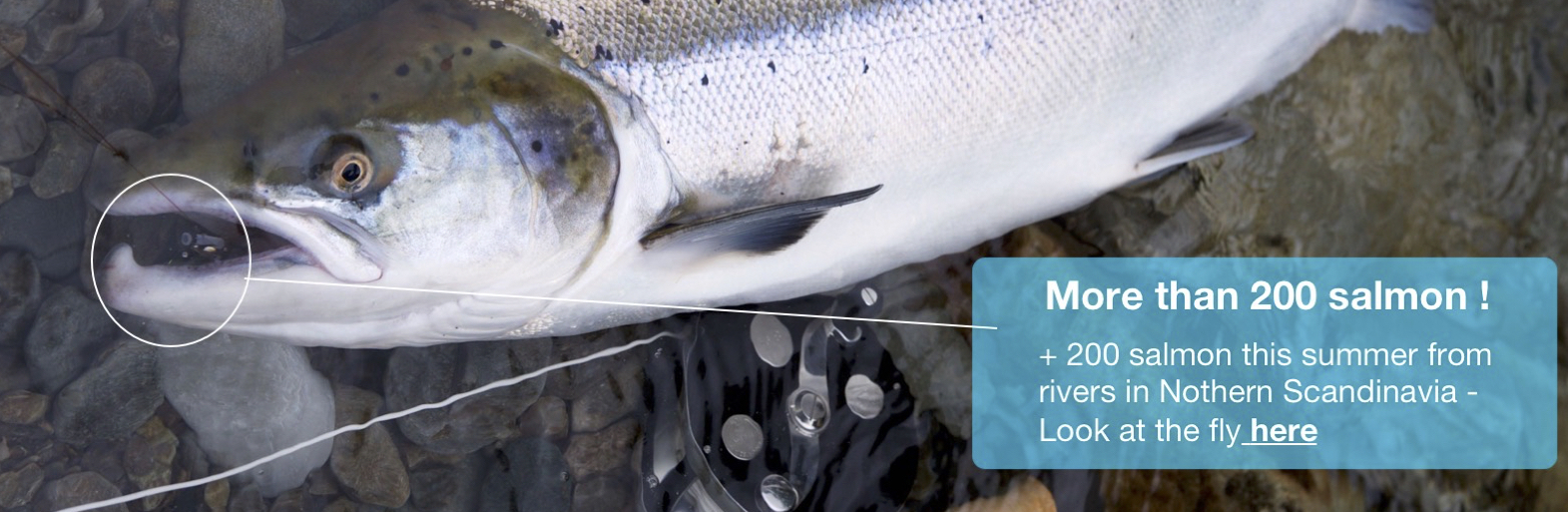 salmon on riffling hitch