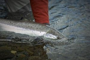Monster Tube fly Caddis salmon on dry fly